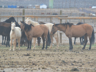 Carter Reservoir Herd Preservation Project Horses