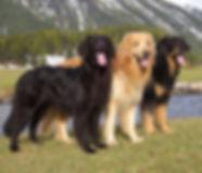 Les trois couleurs des chiens Hovawart:   Le Noir, le Blond et le Noir et Feu ( dit également Noir, Marron , Feu