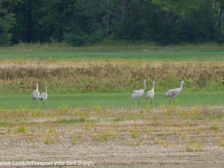 """Birds on Tap - Roadtrip: """"Sod-Pipers and Sips!"""" Trip Report, 9/8/19"""