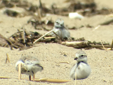 """Birds On Tap - Roadtrip: """"Terns and Taps,"""" 7/8/2018"""