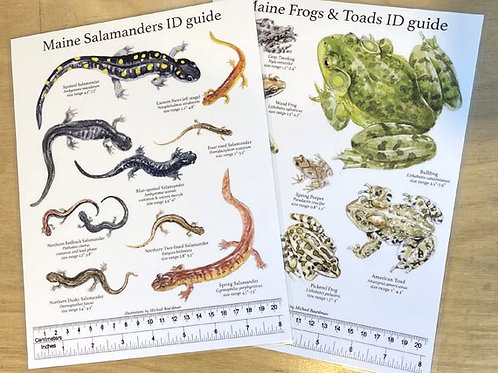 Maine Amphibians ID Guide