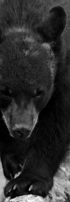 Florida Black Bear 1.jpg