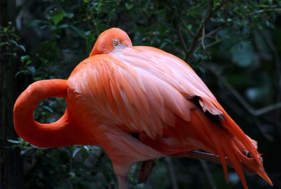 Florida Pink Flamingo