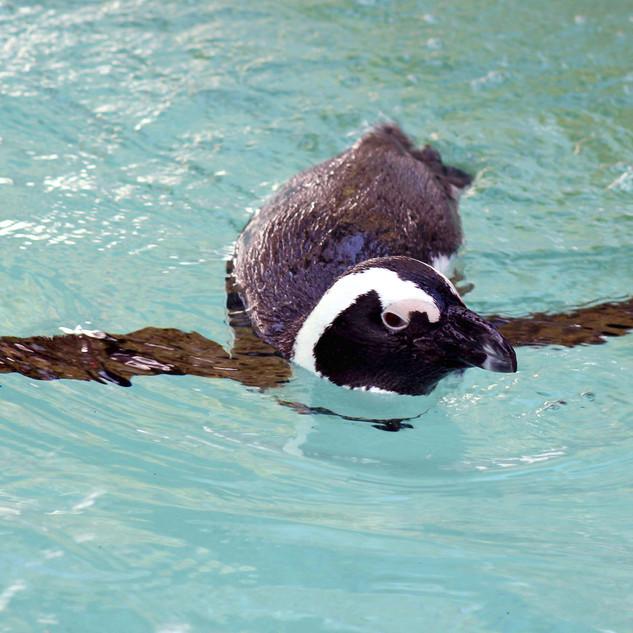 African Penguin 1