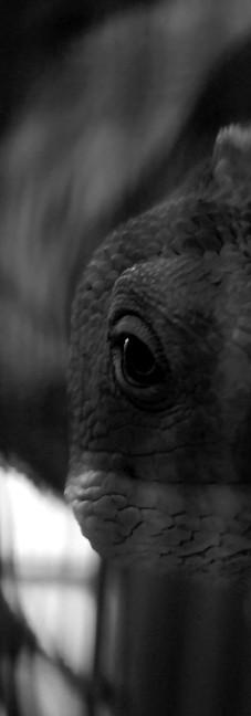 Fiji Banded Iguana 1.jpg