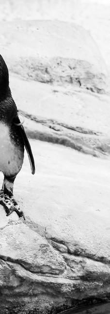 African Penguin 1 (7).jpg