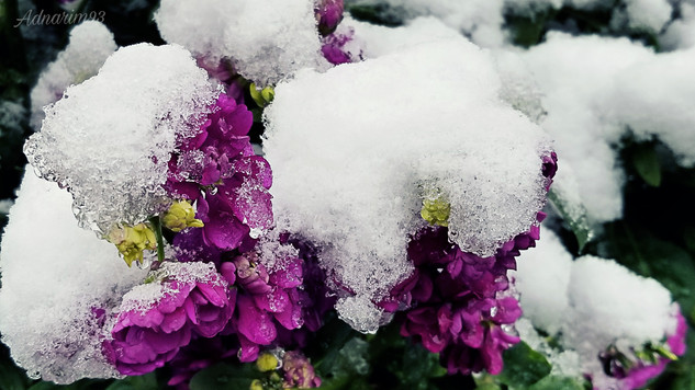 Snow covered flowers