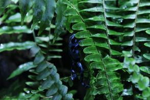 Blue Poison Dart Frog 2