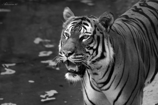 Malayan Tiger in Black and White