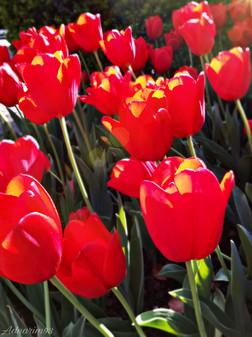 Spring in Full Bloom_ Tulips