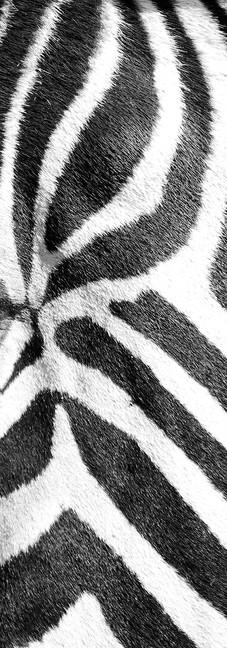 Zebra Profile in Black and White.jpg