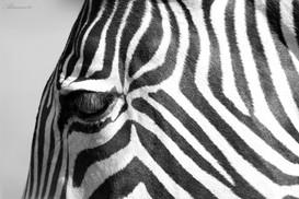 Imperial Zebra in Black and White
