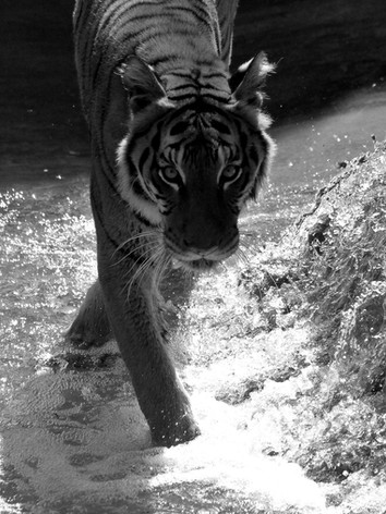 Tiger_Black and White.jpg