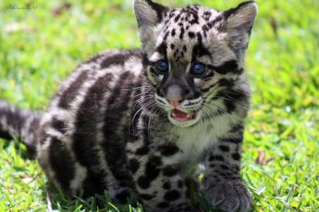 Clouded Leopard Kitten
