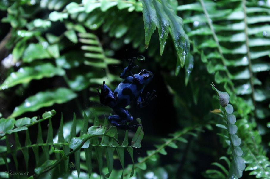 Blue Poison Dart Frog 3