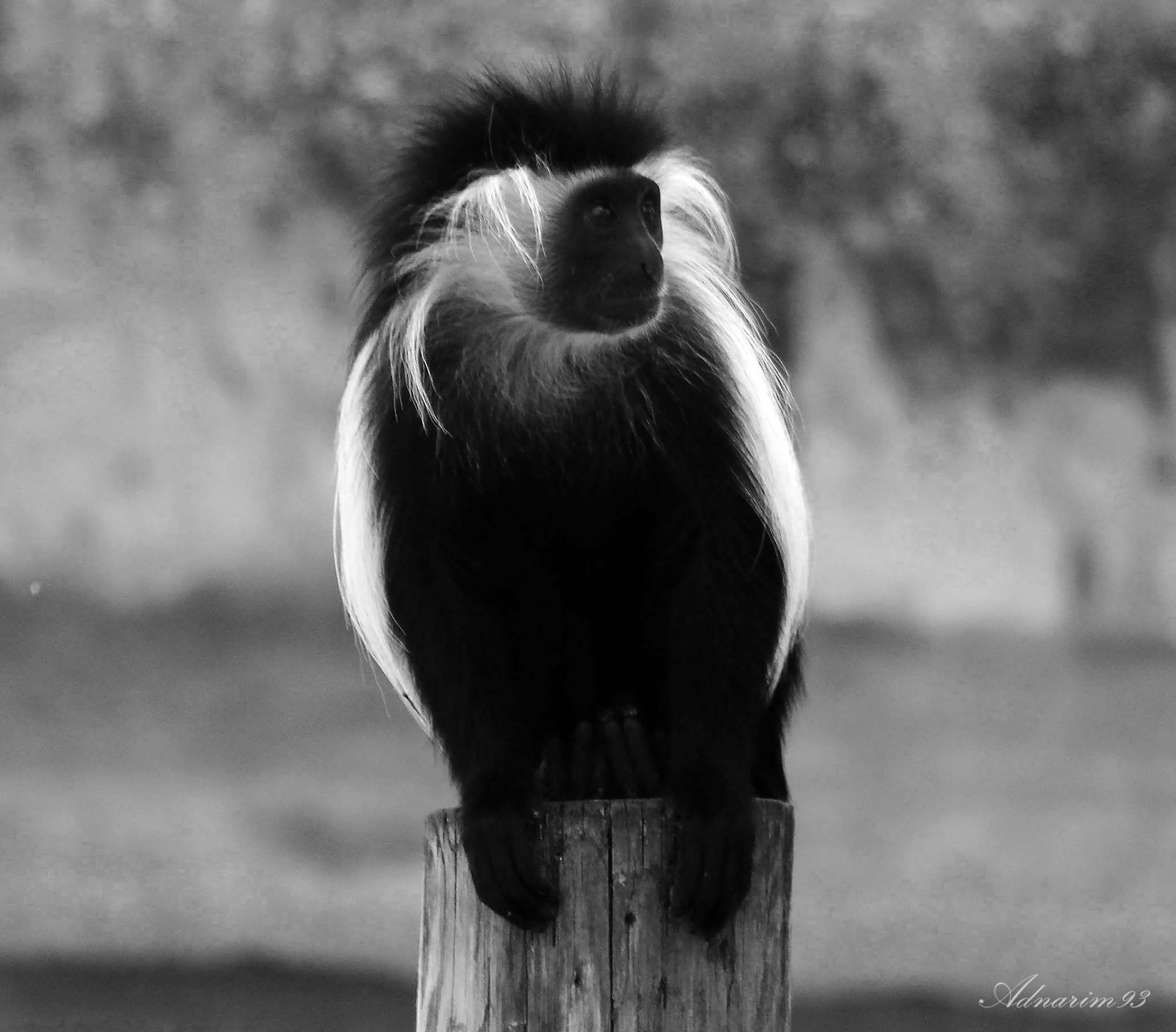 Colobus Monkey, Black and White