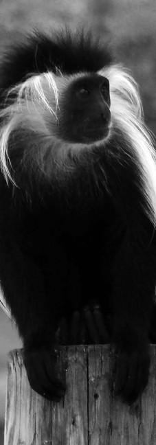 Colobus Monkey 2.jpg