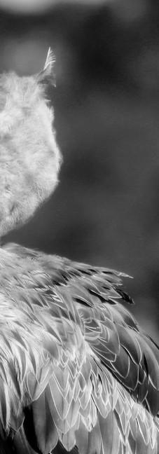 Shoebill Stork 7.jpg