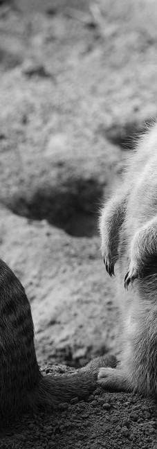 Meerkat 14.jpg