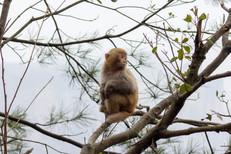 Macaque Monkey_Tree Pose