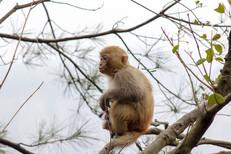 Macaque Monkey Profile