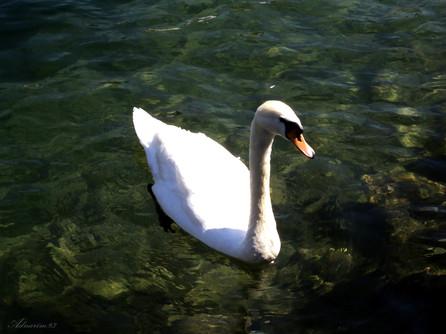 Swan_Switzerland