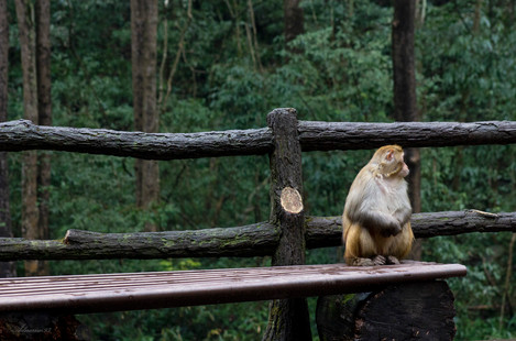 Macaque Monkey on a Bench