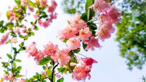 Cherry Blossoms, Shanghai