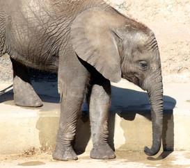 Elphant Calf