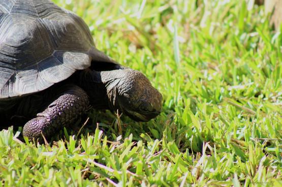 Juvenile Galapagos Tortoise