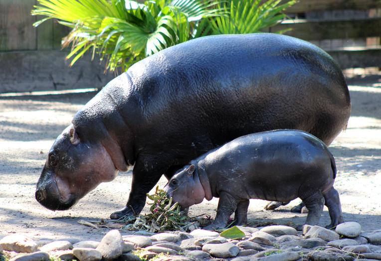 Pygmy Hippo 1.jpg