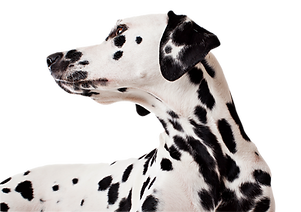 Dalmatian looking over shoulder