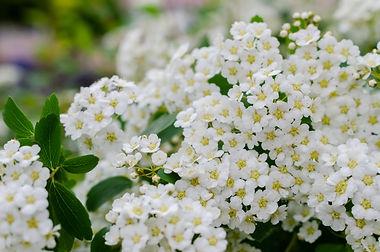 spirea-bush-flowers.jpg