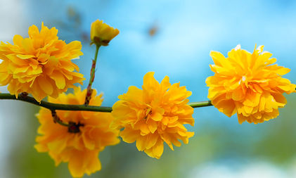 kerria-is-yellow-branch-with-yellow-flow