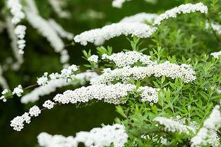 flowers-spiraea-blooming-spring-garden-g