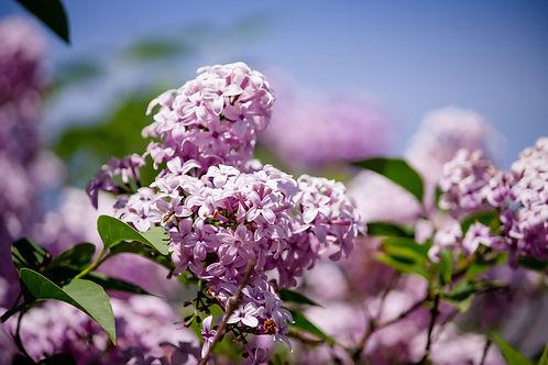 closeup-beautiful-branch-lilac-tree-grow