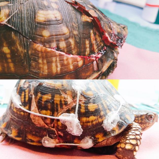 Eastern Box Turtle shell repair