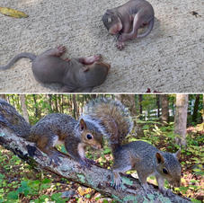 Two Gray Squirrels all grown up
