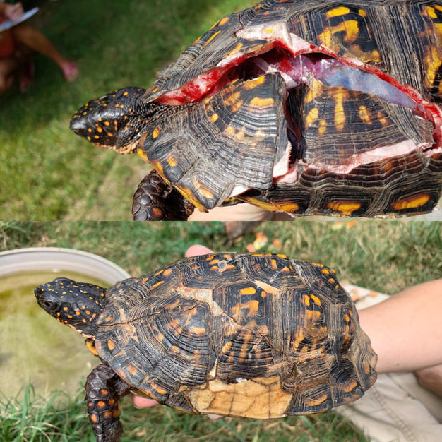Eastern Box Turtle repaired shell and released
