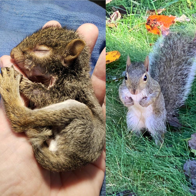 Infant Gray Squirrel Released