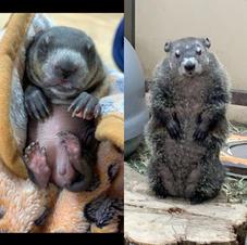 Groundhog all grown up