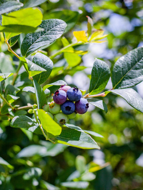Blueberry Corner Nov 2019-3182.jpg