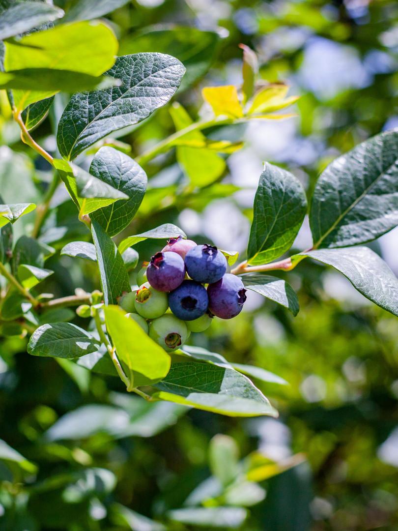 Blueberry Corner Nov 2019-3182.jpg