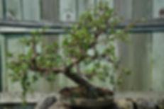 maine portulicaria bonsa