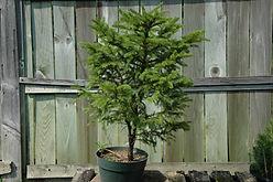 red spruce bonsai