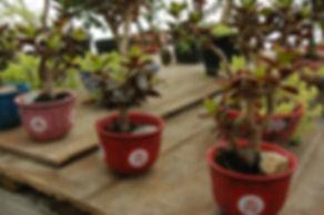 maine mame jade bonsai
