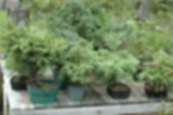maine white spruce bonsai