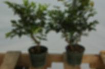 maine jaboticaba bonsai