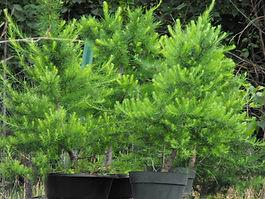 maine larch bonsai