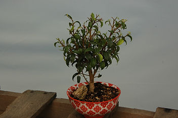 maine ficus too little bonsai